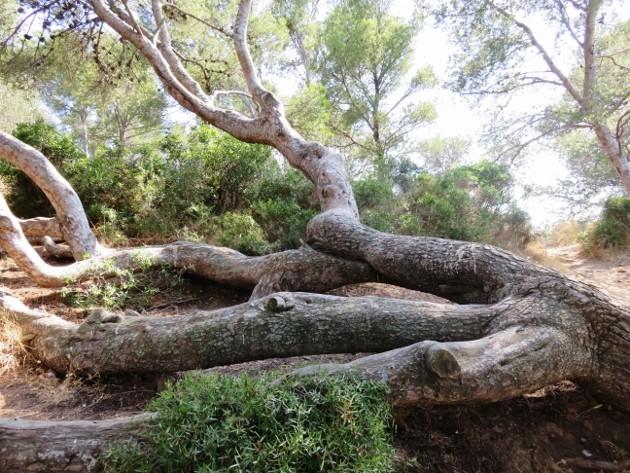 ile verte - L'Ile verte à la Ciotat et ses pins tourmentés Img_6317