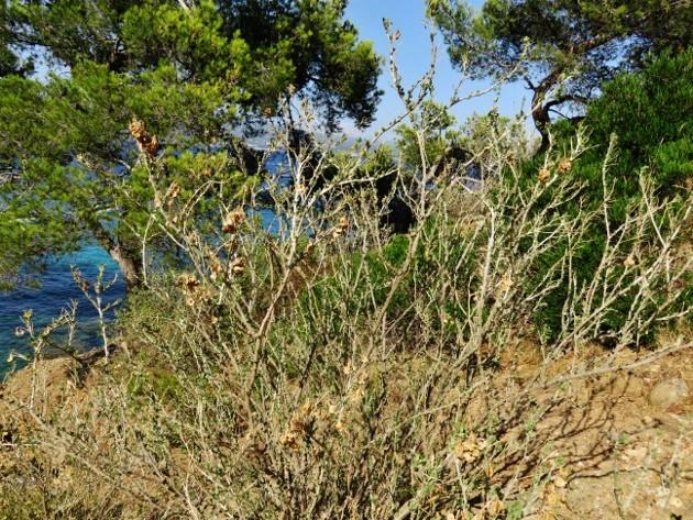 ile verte - L'Ile verte à la Ciotat et ses pins tourmentés Img_6320