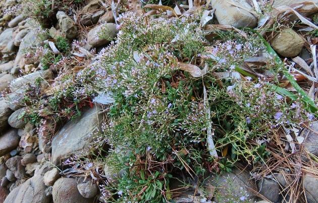 ile verte - L'Ile verte à la Ciotat et ses pins tourmentés Img_6321