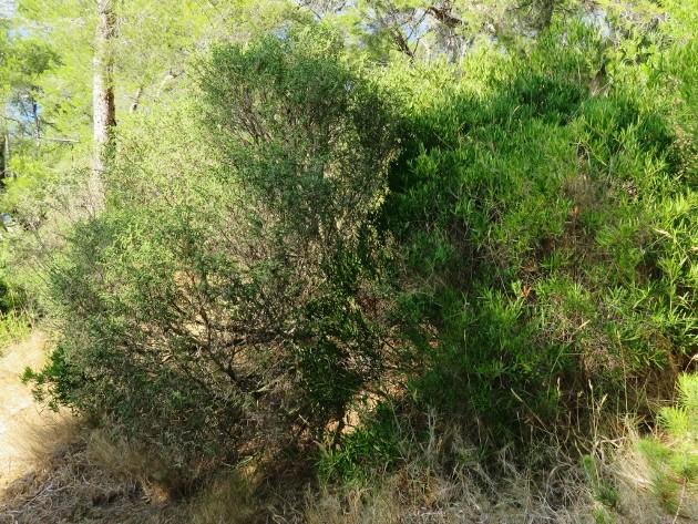 ile verte - L'Ile verte à la Ciotat et ses pins tourmentés Img_6322
