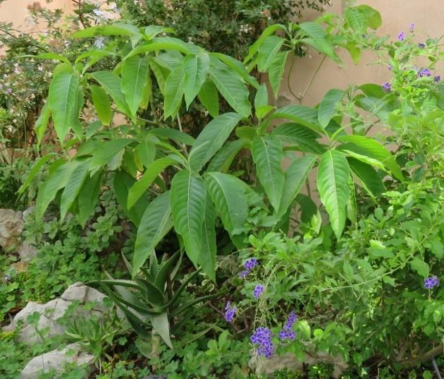 Justicia adhatoda (= Adhatoda vasica) - carmentine en arbre Img_6413
