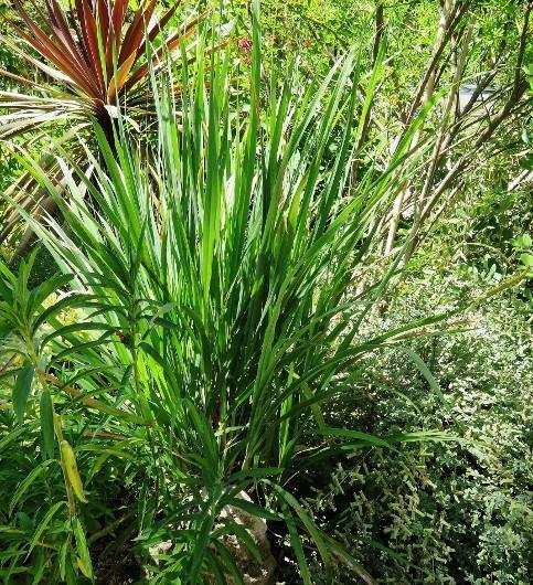 Cymbopogon citratus - citronnelle Img_6510