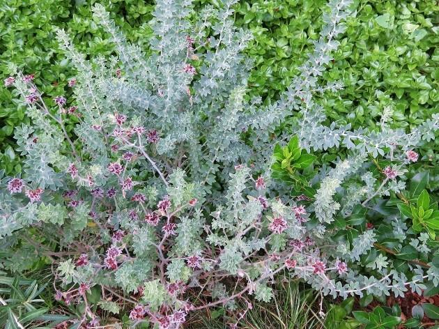 Dorycnium hirsutum - bonjeanie hirsute Img_6610