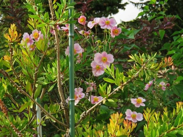 Anemone hupehensis - anémone de Chine ; Anemone hupehensis var. japonica - anémone du Japon Img_7317