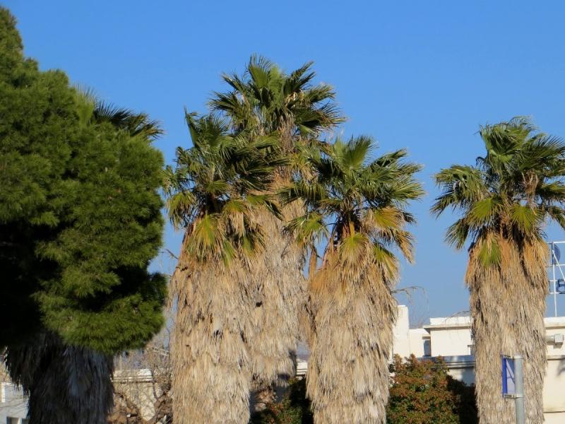 """La """"jupe"""" des palmiers ! Janvie15"""