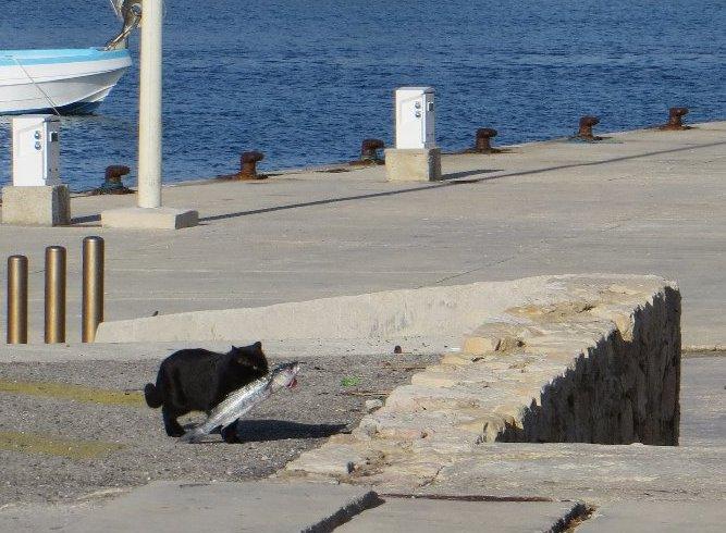 Les chats pêcheurs ! Janvie17