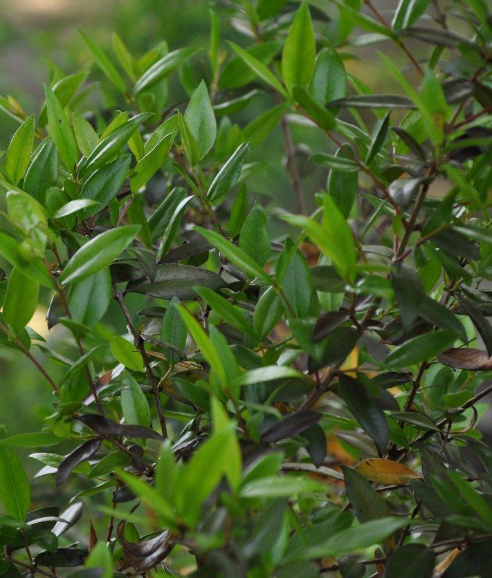 Myrtus communis - myrte commun Juin_215
