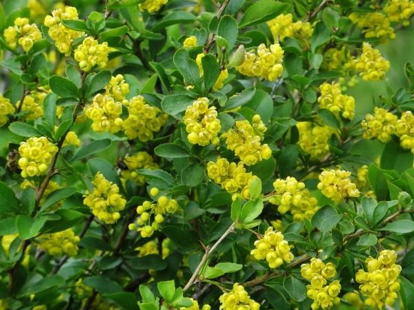 Berberis vulgaris - épine-vinette Juin_221