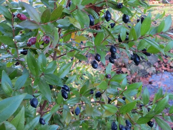 Myrtus communis - myrte commun Novemb10