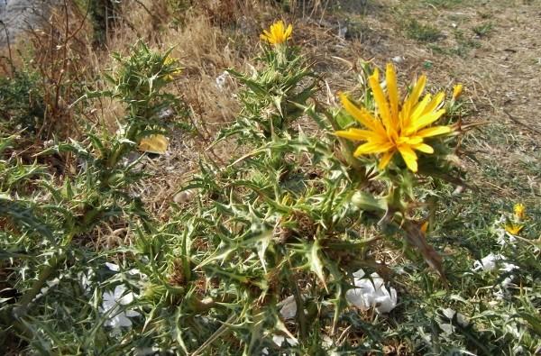 Carthamus lanatus - carthame laineux R2223110