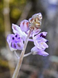 Prospero autumnale (= Scilla autumnalis) - scille d'automne Scille10
