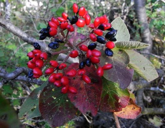 Viburnum lantana - viorne mancienne Septem10