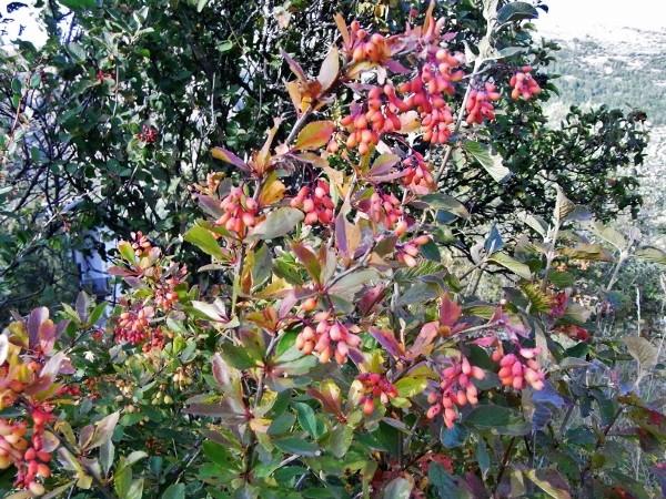 Berberis vulgaris - épine-vinette Septem14