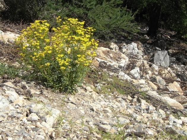 Jacobea vulgaris (= Senecio jacobaea) - séneçon jacobée Yo_ide10