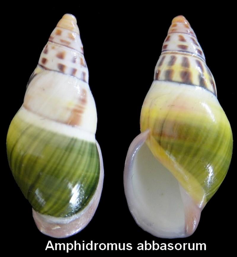 Amphidromus abbasorum Thach, 2017 Amphid10