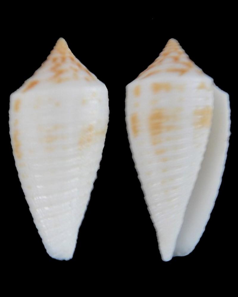 Conus asiaticus lovellreevei (Phasmoconus) Raybaudi, 1993 Conus_10