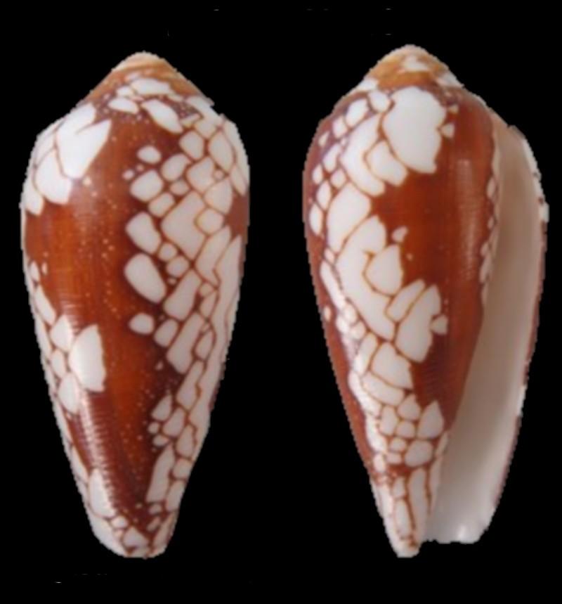 Conus episcopatus (Darioconus) Da Motta, 1982 Conus_12