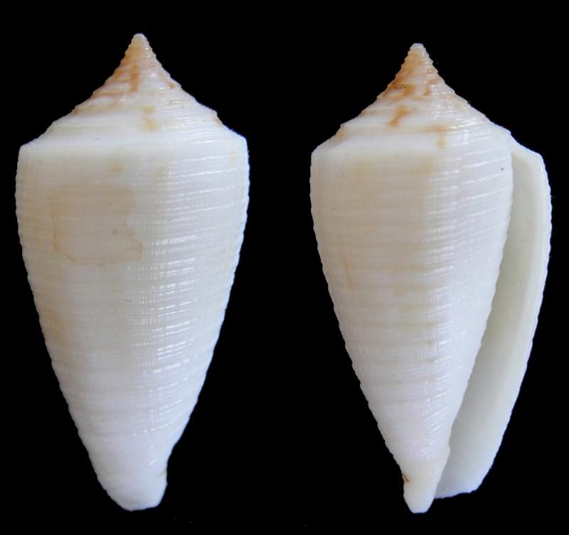 Conus (Phasmoconus) lovellireevei   Raybaudi,  1993 voir Conus (Phasmoconus) asiaticus lovellreevei Conus_14