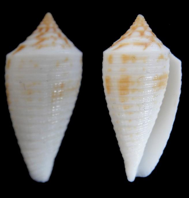 Conus asiaticus lovellreevei (Phasmoconus) Raybaudi, 1993 Dsc04010