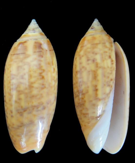 Oliva oliva (Oliva) Linnaeus, 1758 Oliva_11