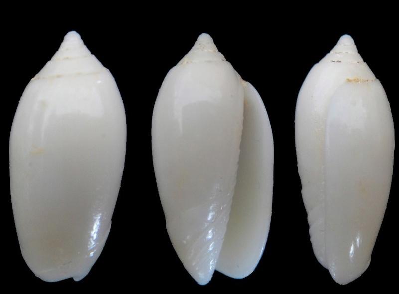 Americoliva reticularis olorinella (Duclos, 1835) - Worms = Americoliva reticularis (Lamarck, 1811) Oliva_12