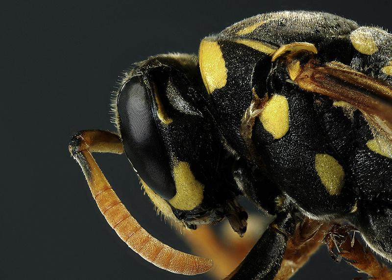 Hymenoptera – Vespidae 2017-010