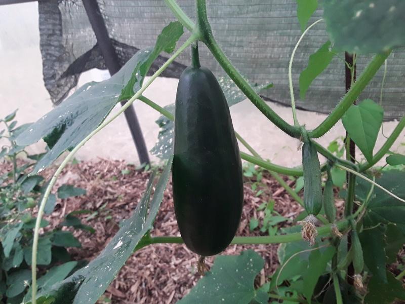 Concombre broumana 20170735