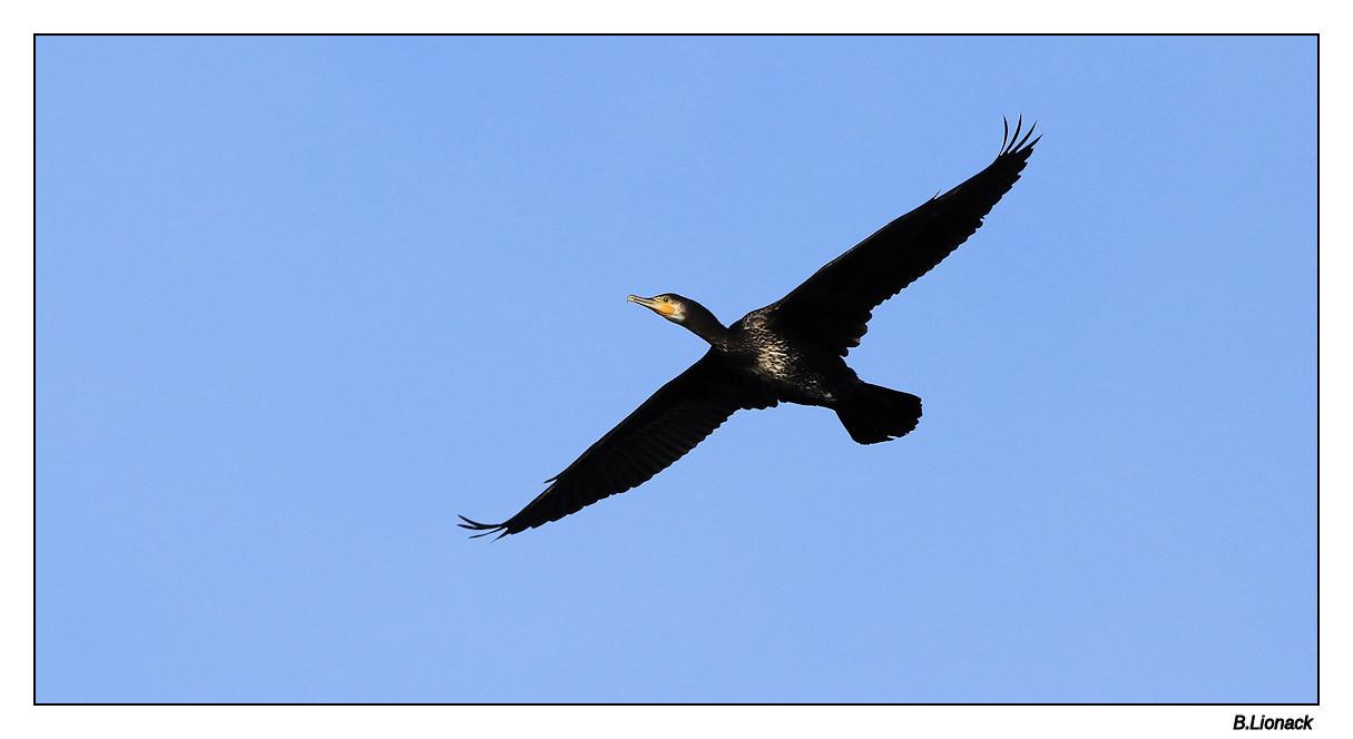 Va et vient de cormorans Cormo010