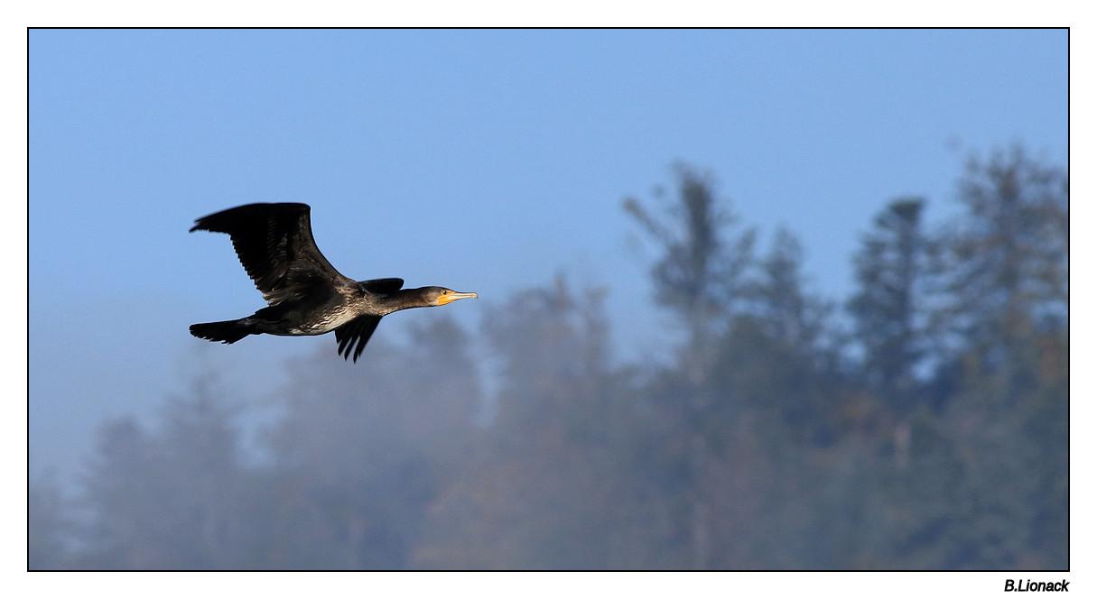 Va et vient de cormorans Cormo011