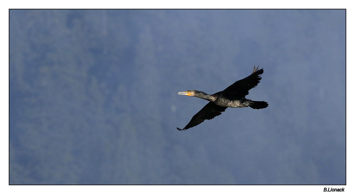 Va et vient de cormorans Cormo012