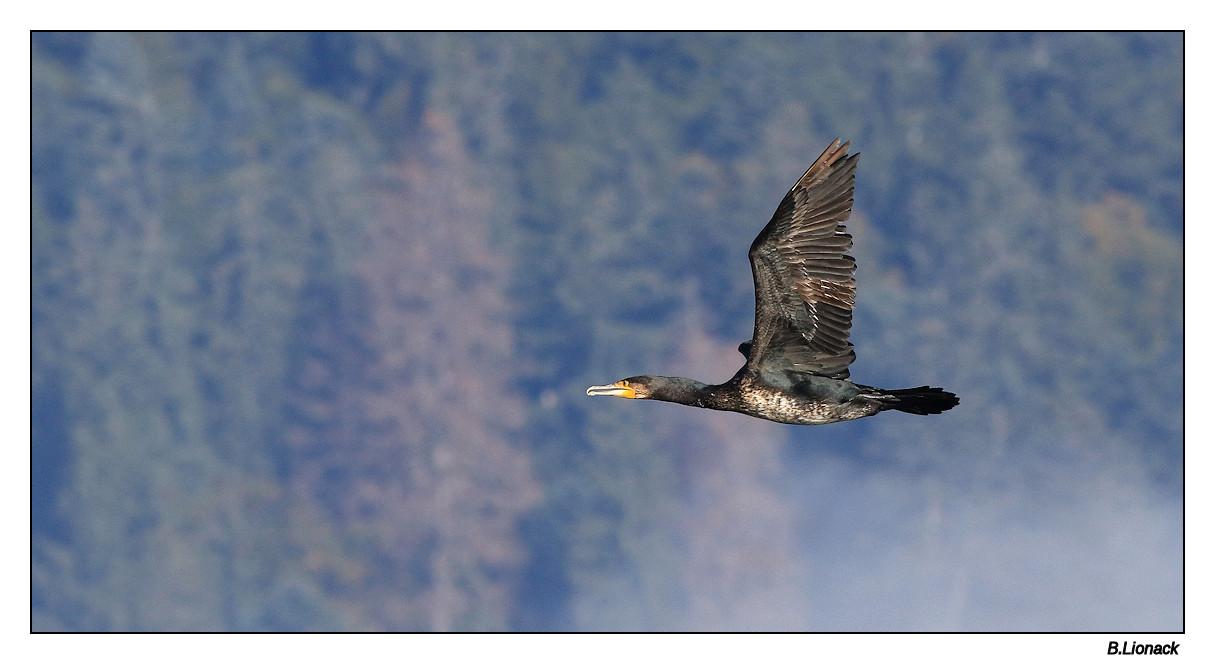 Va et vient de cormorans Cormo013