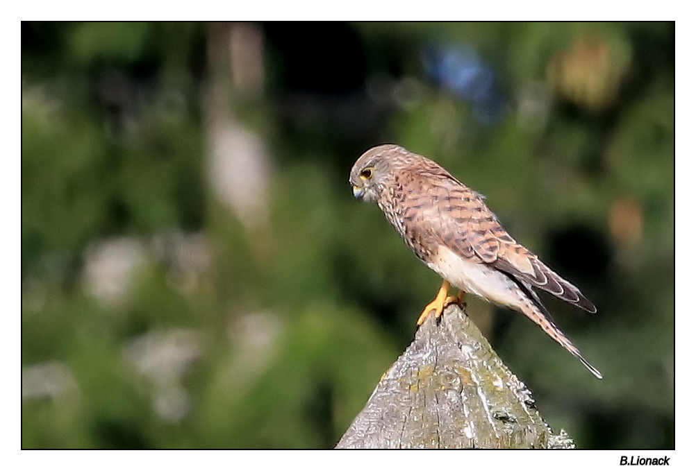 Petit faucon Hawk10
