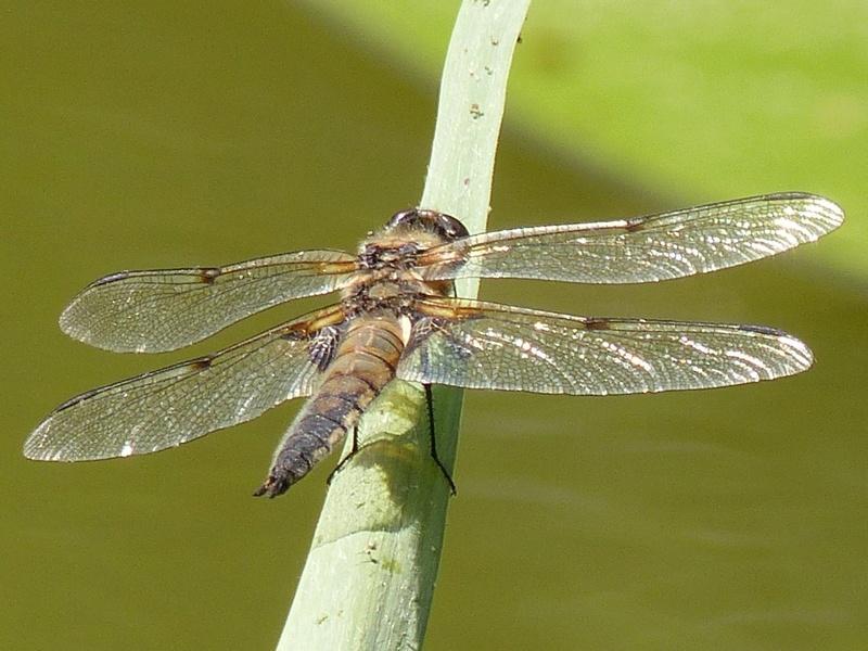 Libellula quadrimaculata P1130714