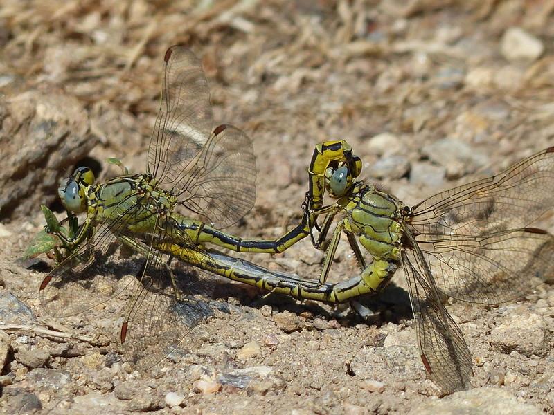 Gomphus pulchellus en couple P1140112