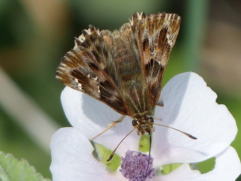 Pyrgus armoricanus?[Carcharodus alceae] P1140913