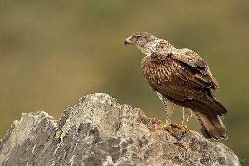 Águia-das-estepes - Aquila nipalensis 0a465e10