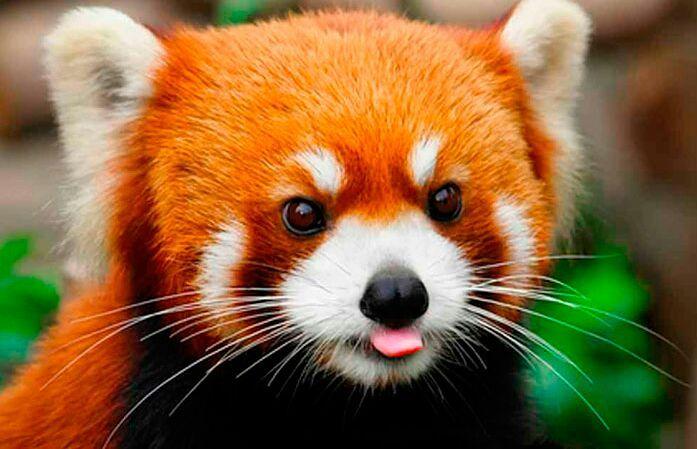 Panda-Vermelho (Ailurus Fulgens) - Artigo 2dd4b810