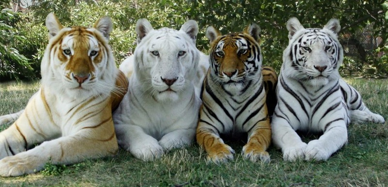 Tigres - Panthera Tigris 70d2e410