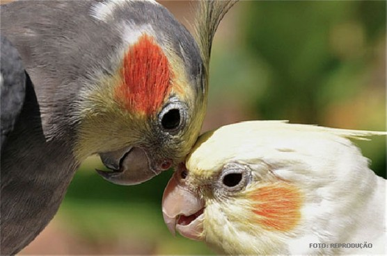 Pássaro Calopsita: 8 coisas que deve saber antes de comprar um 7calop10