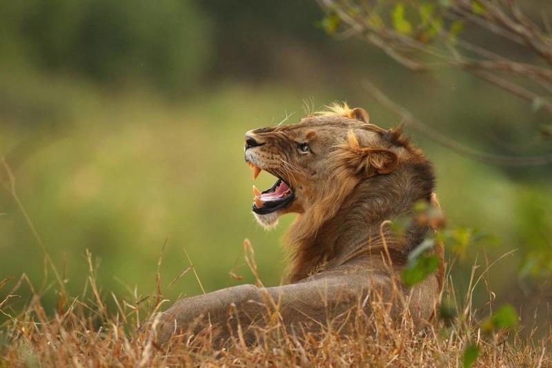 Leão - Animal Silvestre  Gettyi10