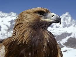 Águia-das-estepes - Aquila nipalensis Images10