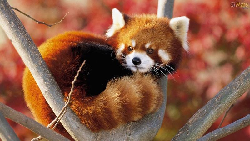 Panda-Vermelho (Ailurus Fulgens) - Artigo Panda-10