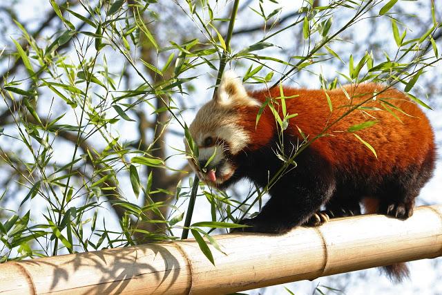 Panda-Vermelho (Ailurus Fulgens) - Artigo Panda_10