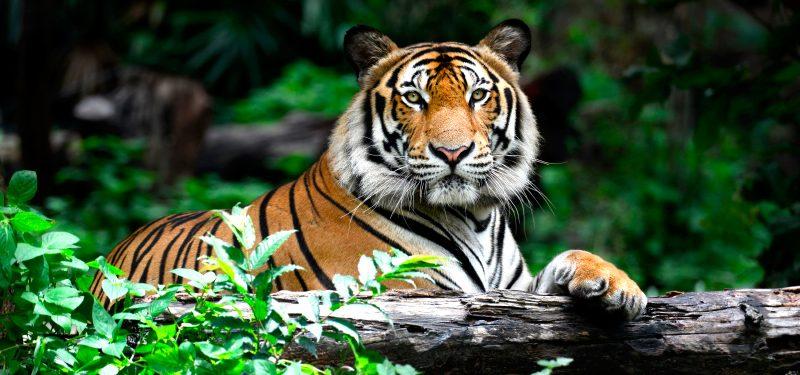 Tigres - Panthera Tigris Tigres10