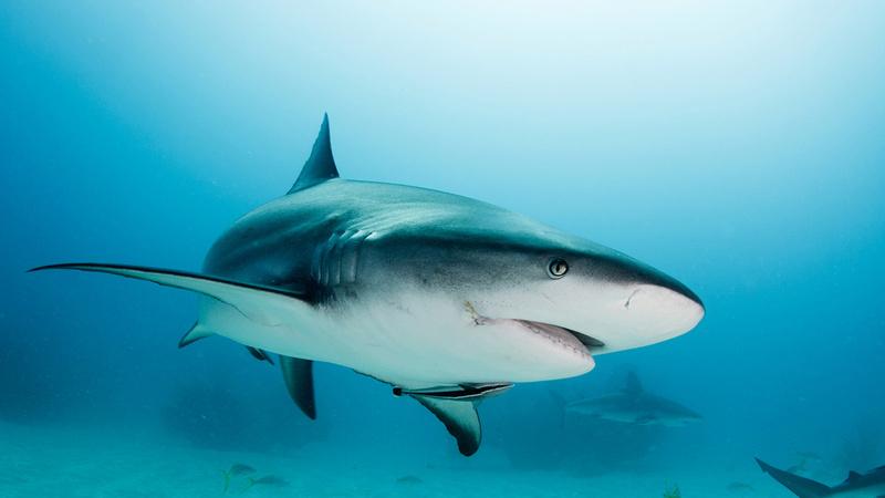 Tubarão - Chondrichthyes  Tubary10