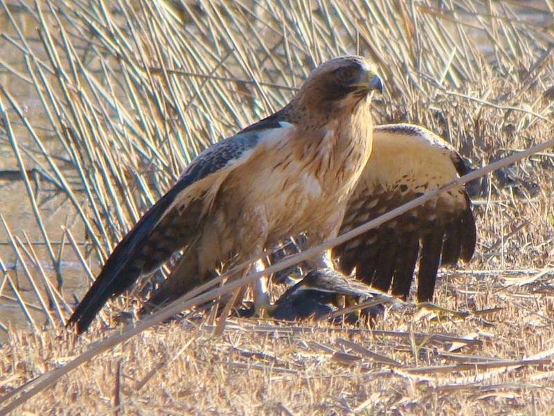 Águia-calçada Aquila pennata  Us_abe10