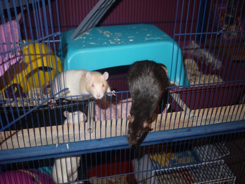mes ratous ! P1070016