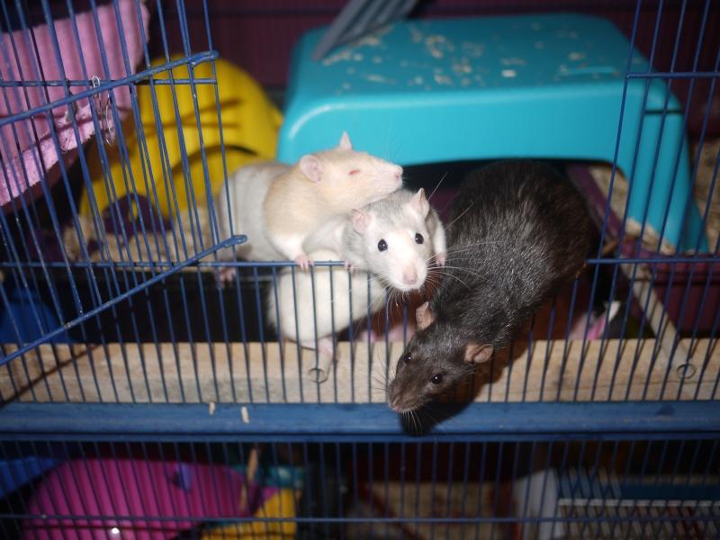 mes ratous ! P1070018