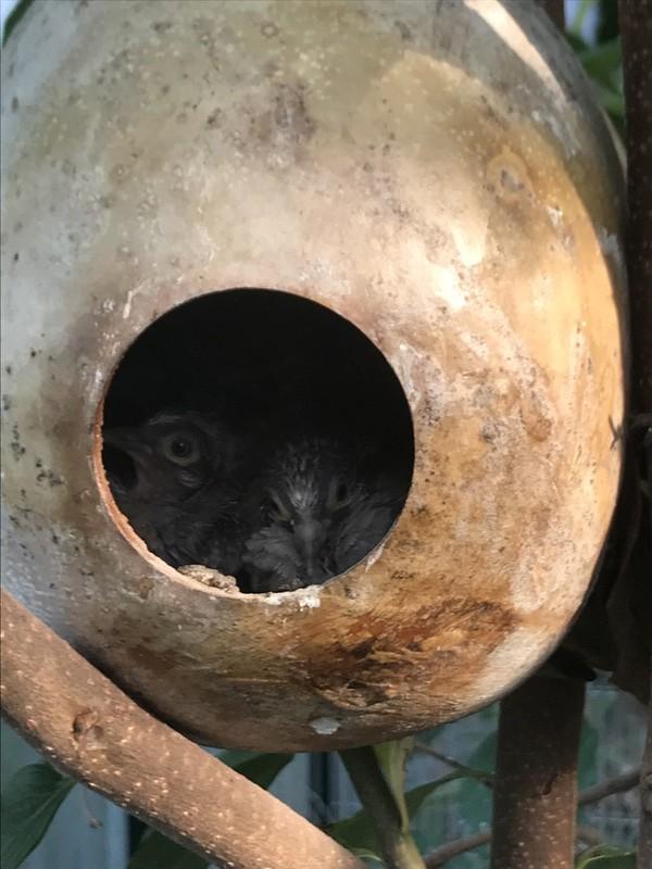 Mode de vie des colombes Céciles Img_2910