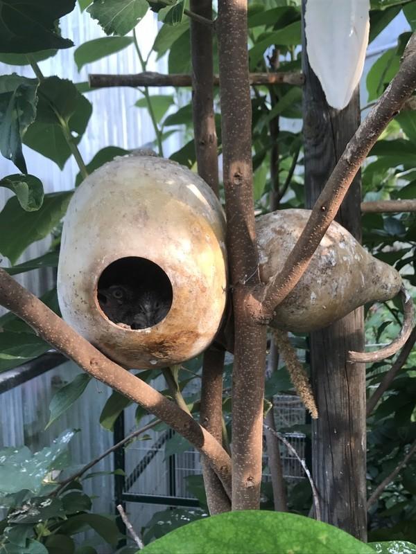 Mode de vie des colombes Céciles Img_2911